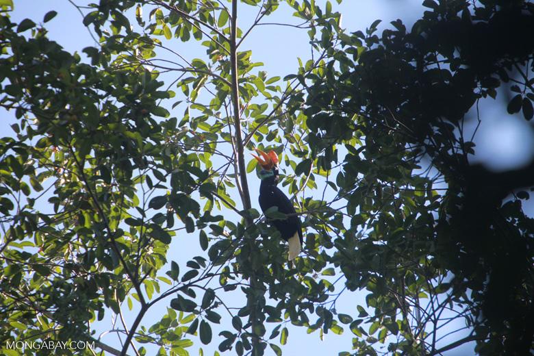 Knobbed Hornbill, Aceros cassidix