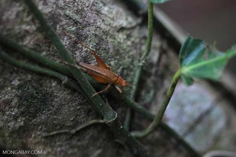 Orange cricket