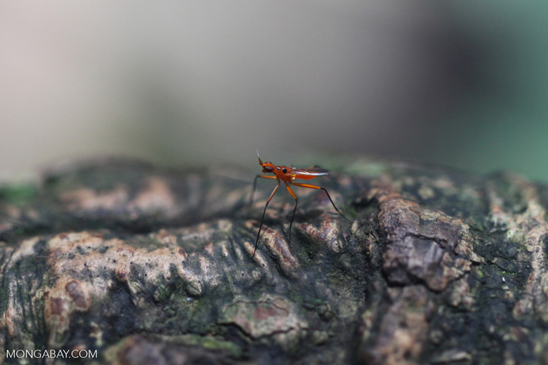 Orange fly with purple eyes