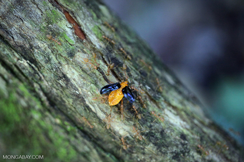 Orange beetle being carried by ants