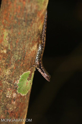 Lizard in Sulawesi