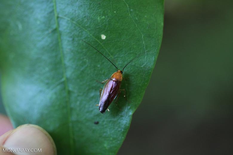 Orange-headed roach