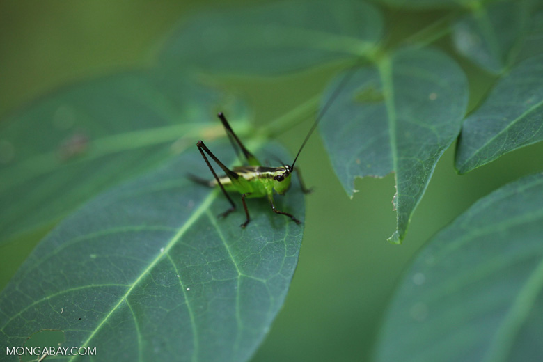 Green, black, and yellow grasshopper