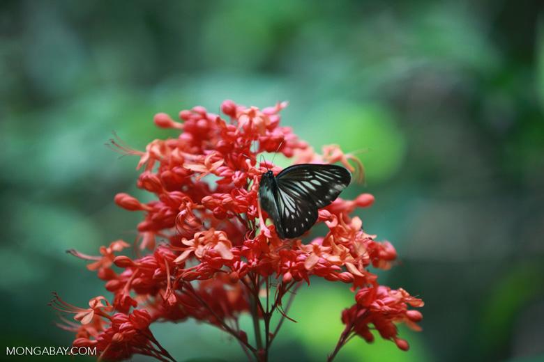 Butterfly (Great Mormon - Papilio memnon?)