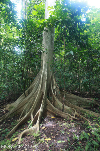 Buttress roots