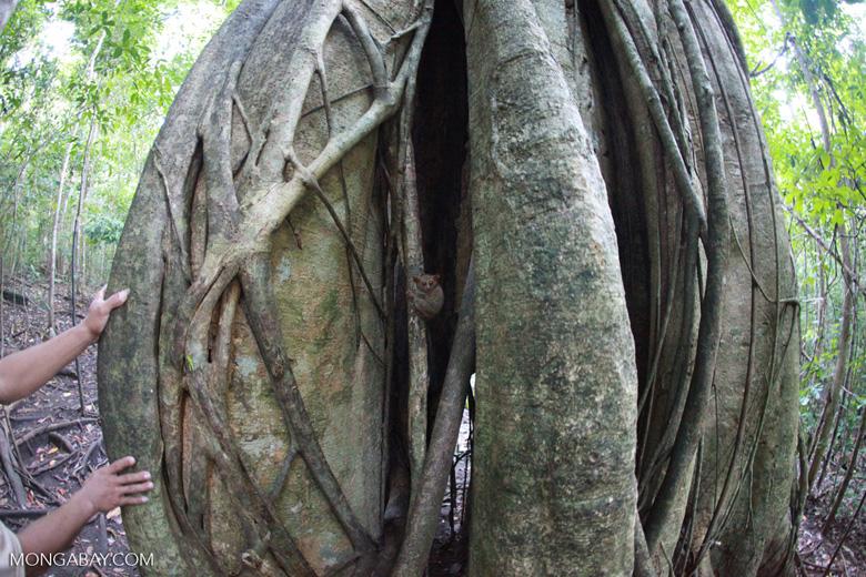 Tarsiers in a strangler fig tree