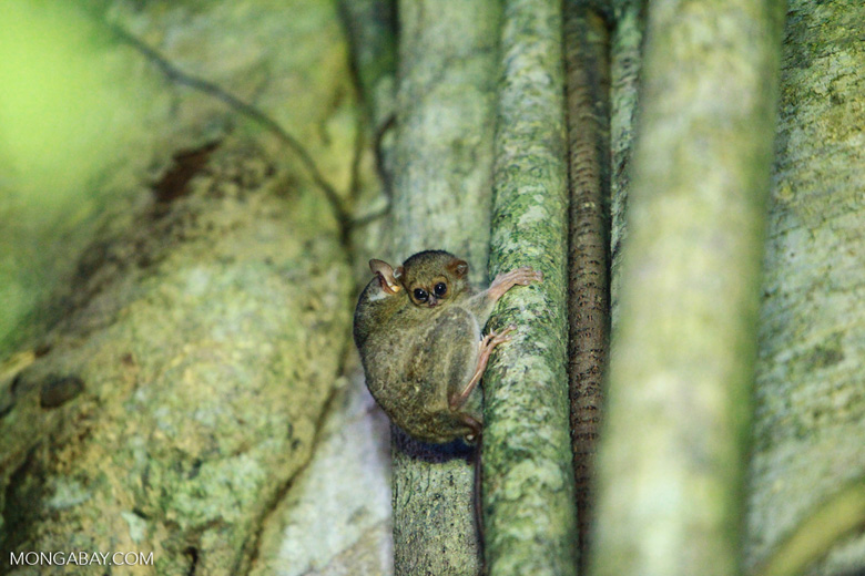 Baby tarsier with mother