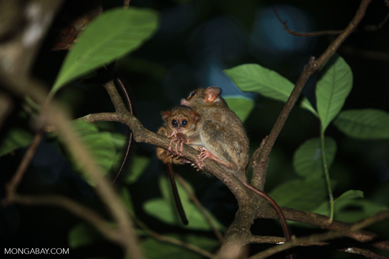 Mother tarsier and baby