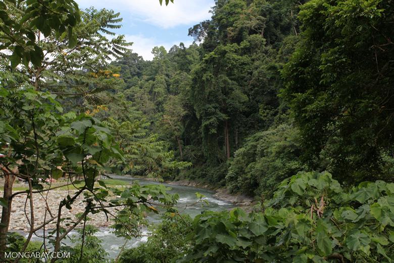 Forest along the Bohorok River [sumatra_0019]