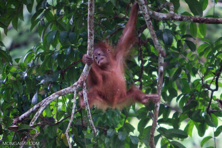 Baby Orangutan plays in tree [sumatra_0022]