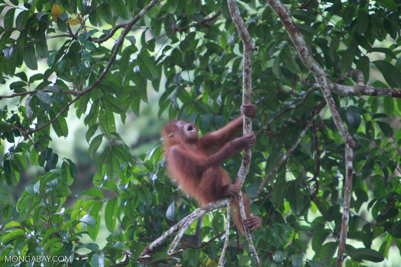 Baby Orangutan plays in tree [sumatra_0025]