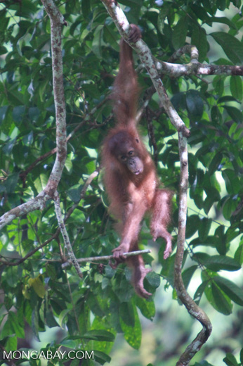 Baby Orangutan in Gunung Leuser National Park / Bukit Lawang [sumatra_0037]