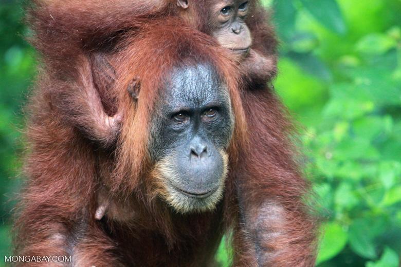 Mama Orangutan Carrying Baby [sumatra_0069]