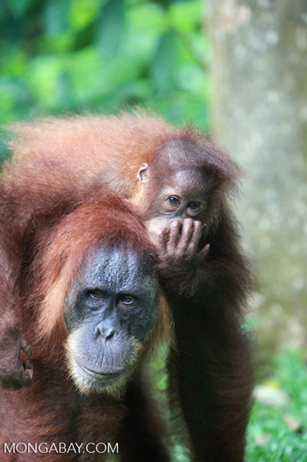 Mama Orangutan Carrying Baby [sumatra_0074]