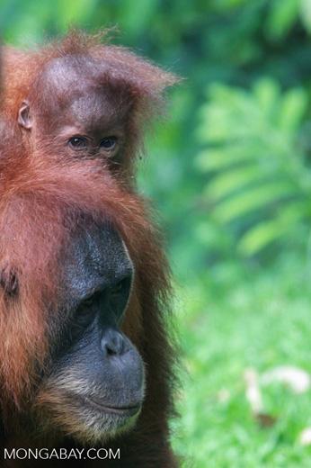 Mama Orangutan Carrying Baby [sumatra_0084]