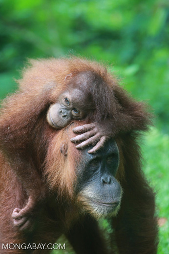 Mama Orangutan Carrying Baby [sumatra_0087]