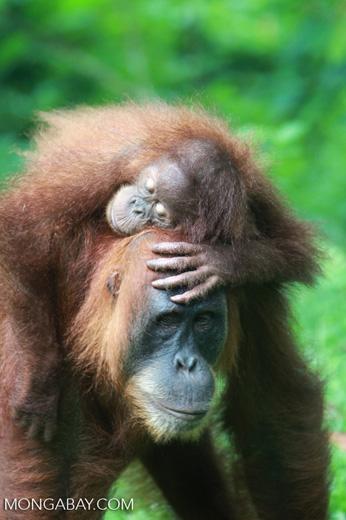 Mama Orangutan Carrying Baby [sumatra_0088]