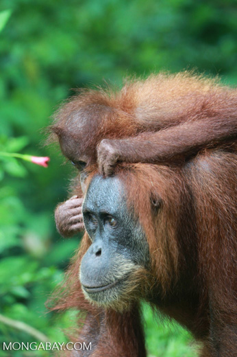 Mama Orangutan Carrying Baby [sumatra_0091]