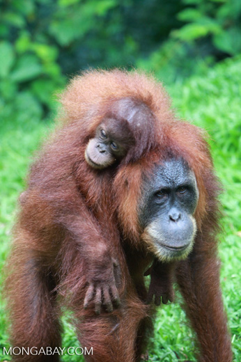 Mama Orangutan Carrying Baby [sumatra_0092]