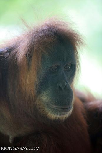 Orangutan in Bukit Lawang [sumatra_0093]
