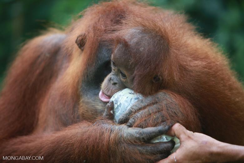 Mama Orangutan Carrying Baby [sumatra_0099]