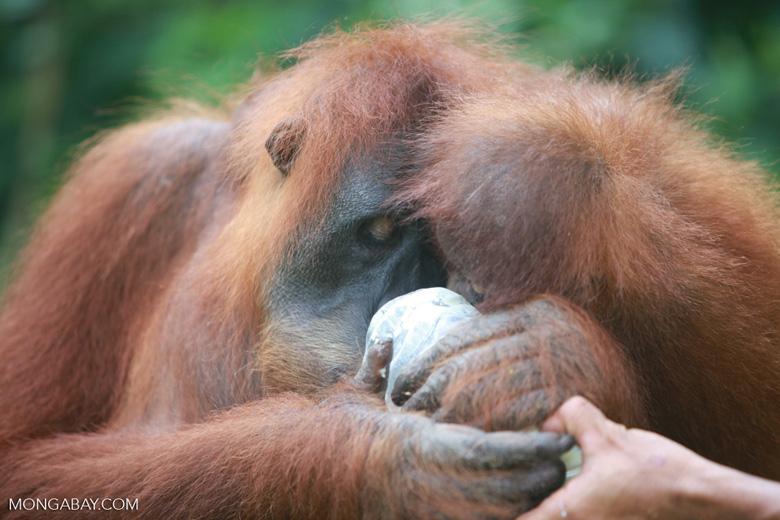 Mama Orangutan Carrying Baby [sumatra_0100]