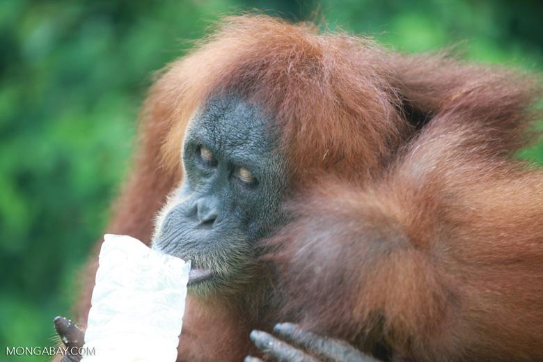 Mama Orangutan Carrying Baby [sumatra_0102]