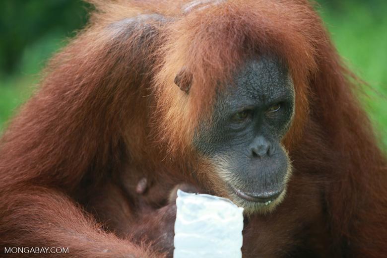 Mama Orangutan drinking water [sumatra_0104]