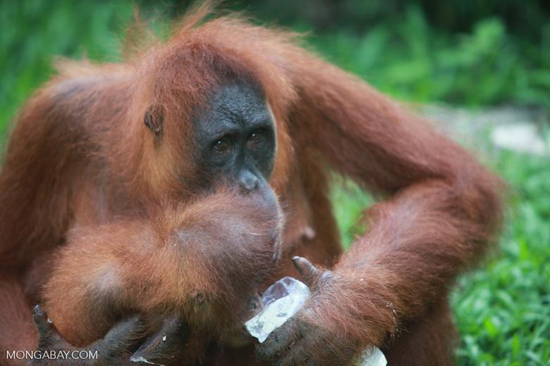Mama Orangutan helps baby drink water