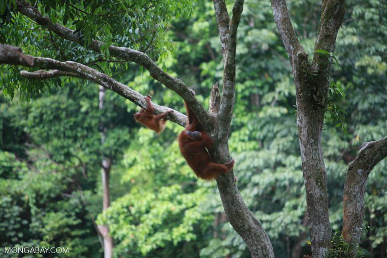 Mama Orangutan climbing with baby [sumatra_0119]