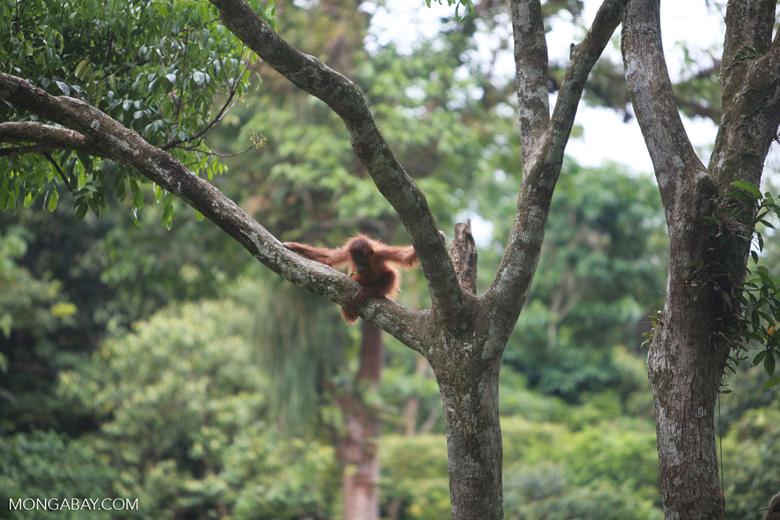 Baby Orangutan in Tree [sumatra_0124]