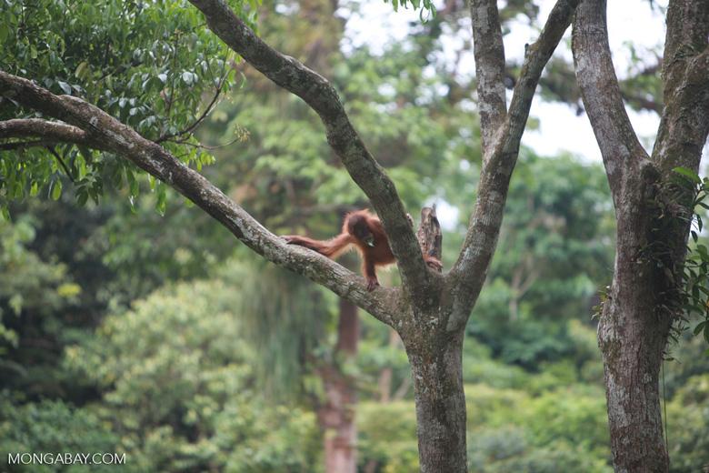 Baby Orangutan in Tree [sumatra_0127]