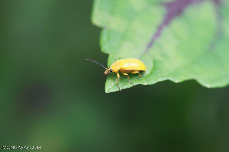 Yellow beetle [sumatra_0133]