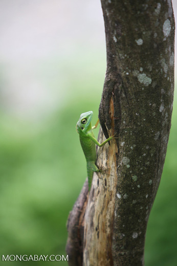 Green Crested Lizard (Bronchocela cristatella) [sumatra_0151]