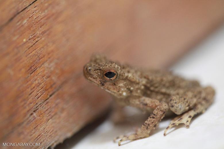 Brown toad [sumatra_0159]