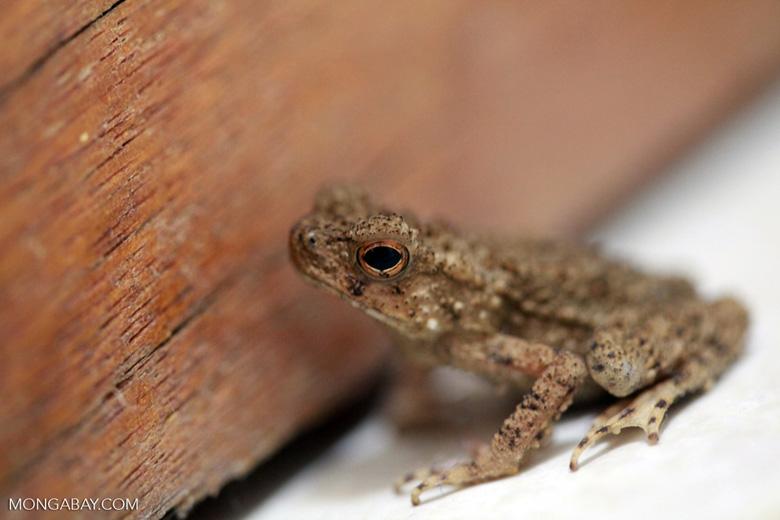 Brown toad [sumatra_0161]