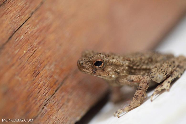Brown toad [sumatra_0162]