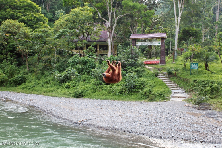 Female Orangutan Crossing Over The Bohorok River Using A
