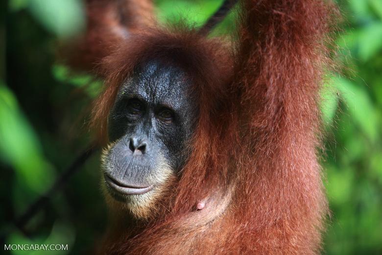 Orangutan in Bukit Lawang [sumatra_0181]