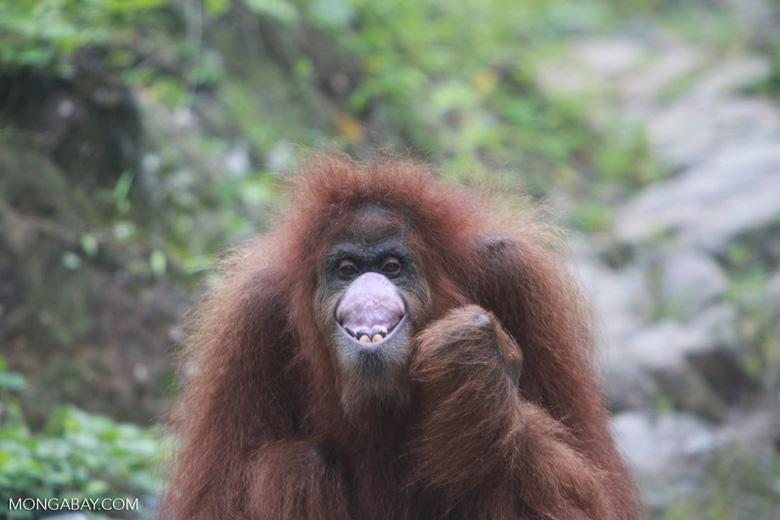Orangutan making faces [sumatra_0270]