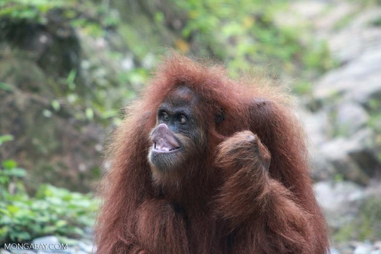 Orangutan making faces [sumatra_0271]