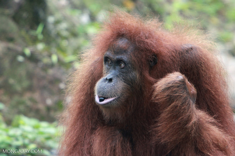 Orangutan making faces [sumatra_0273]