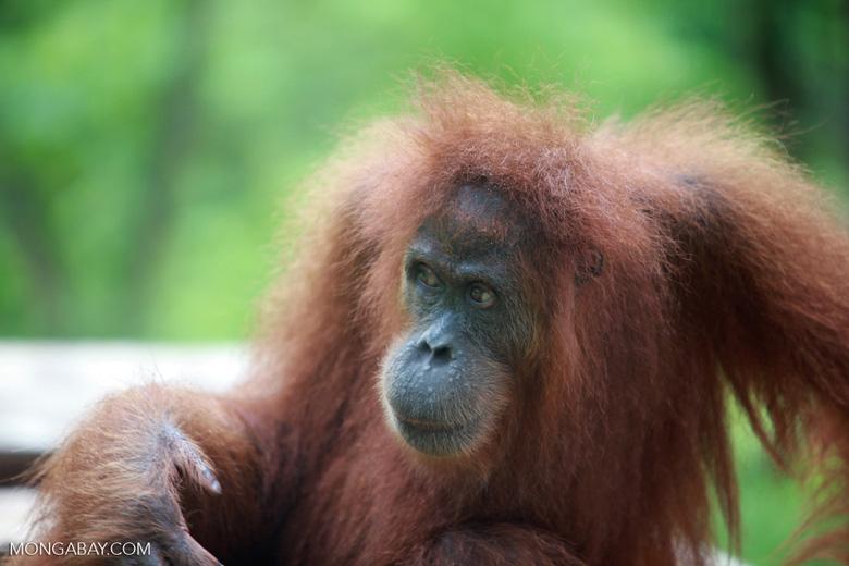 Orangutan in Bukit Lawang [sumatra_0278]