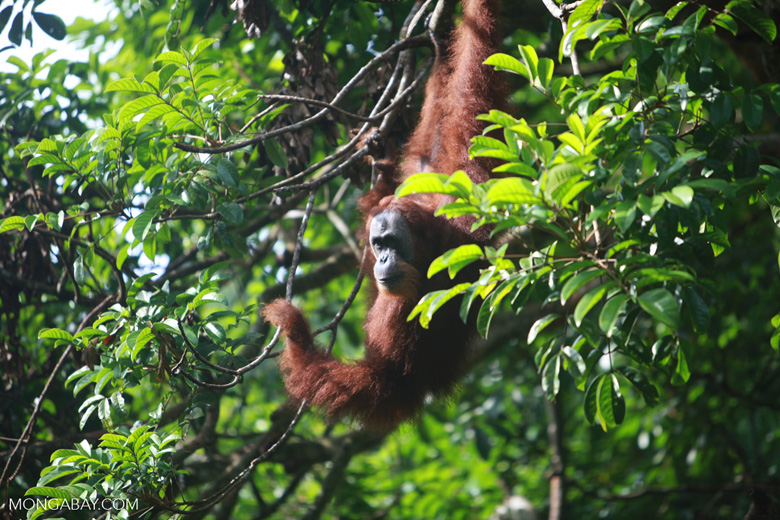 Orangutan in Tree [sumatra_0280]