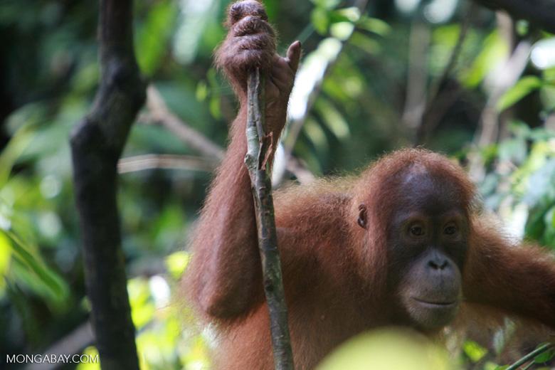 Orangutan in Tree [sumatra_0337]