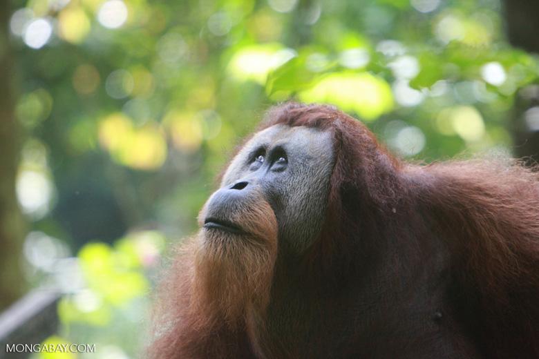 Large Male Orangutan looking up