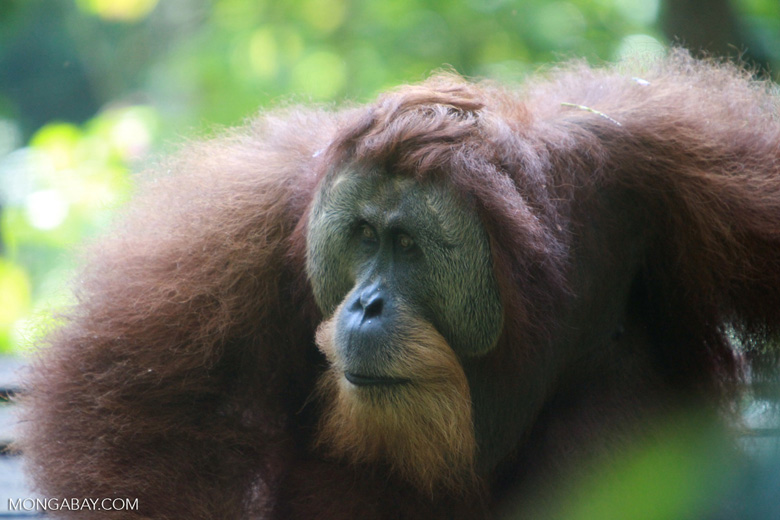 Very Large Male Orangutan