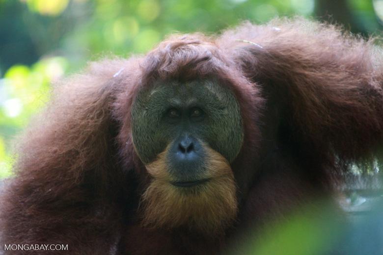 Orangutan with Large Face Plate [sumatra_0354]
