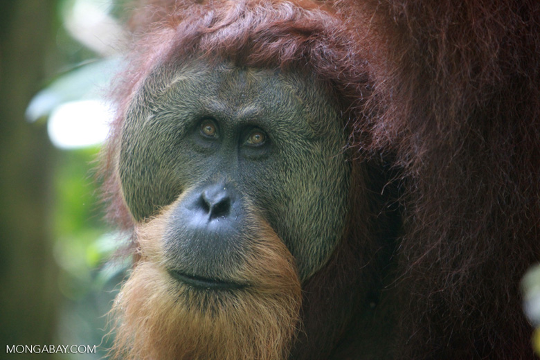 Orangutan with Large Face Plate