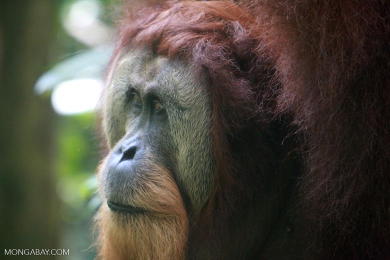 Orangutan with Large Face Plate [sumatra_0361]